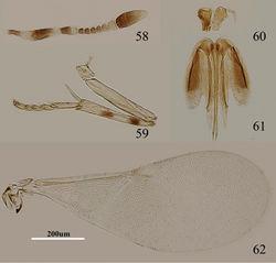 Figures 58–62. Metaphycus nadius (Walker) Female: 58 antenna 59 mid leg 60 palpal formula 61 ovipositor 62 fore wing.