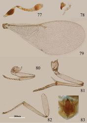 Figures 77–83. Metaphycus xujiangi Ozdikmen. Female: 77 antenna 78 palpal formula and mandible 79 fore wing 80 fore leg 81 mid leg 82 hind leg 83 ovipositor.