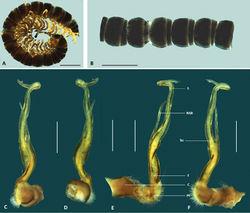 Figure 2. Boreohesperus capensis Shear, 1992. A–B Male (WAM T44397) habitus: A lateral view B dorsal view C–F Male (WAM T44397) left gonopod: C posterior view D anterior view E medial view F lateral view. bs solenomere base C coxa F femur NSB non-seminiferous branch PF prefemur S solenomere. Scale bars: A–B = 2 mm; C–F = 0.5 mm.