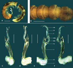 Figure 7. Boreohesperus furcosus sp. n. A–B Holotype male (WAM T76078) habitus: A lateral view B dorsal view C–F Holotype male left gonopod: C posterior view D anterior view E medial view F lateral view. bs solenomere base C coxa F femur NSB non-seminiferous branch nsbp non-seminiferous branch process PF prefemur S solenomere sp solenomere process stp solenomere tip process. Scale bars: A = 1 mm; B = 0.5 mm; C–F = 0.2 mm.
