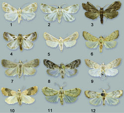 "Figures 1–12. Habitus of adults. 1 Schacontia medalba male, Peru, 1883, ""Boniti P., Peru, Jan. 7. 83"" 2 Schacontia chanesalis male, Mexico, Becker 68741, Tam El Ensino 250 m, 4–13.viii.1988, V.O.Becker Col. 3 Schacontia umbra male paratype, ""Col. Becker 100503, Ecuador: Past. Mera, 1300 m, xii 1992, V.O. Becker Col, Schacontia n. sp. #3 det. M.A. Solis"" 4 Schacontia speciosa male holotype, ""Col. Becker 65271, Brasil, RJ Marica, 5 m, 11.x.1985, V.O. Becker Col. 5 Schacontia ysticalis Sirena, Corcovado Nat. Pk., Osa Penin., Costa Rica, 19–27 Mar 1981, DH Janzen, W. Hallwachs 6 Schacontia themis Venezuela, Guarico, Hato Masaguaral, 45 km S Calabozo, 8.57N, 67.58W, Galry For #20, 75 m, 13–16 May 1988, uv lt., M. Epstein & R. Blahnik 7 Schacontia rasa male holotype, Col. Becker 110514, Mexico, Tam San Fernando, 50 m, 28.vi.1997, V. O. Becker Col. 8 Schacontia nyx ""Venezuela: Guarico, Hato Masaquaral, 45 km S Calabozo, 8.57N, 67.58W, Galry Forest #20, 75 m, 13–16 May 1988, uv lt., M. Epstein & R. Blahnik 9 Schacontia clotho male holotype, Col. Becker 102660, Ecuador, Loja Catamayo 1300 m, 20.xii.1992, V.O. Becker Col., Genitalia 1287 10 Schacontia lachesis male, ""Col. Becker 55439, Brasil, RJ Arrai al do Cabo, 50 m, 29.i.1985, V.O. Becker Col."" 11 Schacontia lachesis male, ""Bolivia, Santa Cruz, Puerto Suarez, 150 m, Nov 1908, J. Steinbach, CMNH Acc. 3758"" 12 Schacontia atropos male holotype, ""San Estaban, Carabobo, Venez., Dec. 1–20 1939, Pablo J. Anduze."""