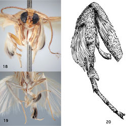 Figures 18–20. Thoracic and leg structures in Schacontia clotho and Schacontia themis. 18 Schacontia themis, hind leg, frontal view, illustrating secondary sexual characters: flattened hind tibial spur, scales with dark patch, and flattened concave metatarsal modification, and epipleural setae (data Fig. 6) 19 Schacontia clotho, ventral view, illustrating darkened hind tibial scales. Ecuador: Loja Catamayo, 1300 m, 20.xii.1992, V.O. Becker Col; Col. Becker 102660 20 Schacontia themis, hind leg, lateral view.