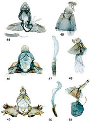 Figures 44–51. Male, female genitalia. 44 Schacontia speciosa male, paratype, Brasil, VOB 65271, Cf. Fig. 4 zzz45 Female, Brasil: BA Jequié, 600–750m; Col. Becker 105714 46 Schacontia ysticalis (a) male, Venezuela: Guarico, Huato Masaguaral , 45km S Calabozo 8.57°N, 67.58°W, Galry For#4 75m, 13-16May1988, uv light M. Epstein R. Blahnik; green label Genitalic Slide by DA ♂ USNM 108,100 47 Phallus, data as above 48 Female, Venezuela Guarico, Huato Masaguaral , 45km S Calabozo Slide by DA ♀ USNM 107,896 49 Schacontia themis (a) male, Costa Rica, Cf. Fig. 20 50 Phallus, data as above 51 Female, Costa Rica, Guanacaste: Santa Rosa Nat'l Pk. 97 SRNP 2354.2 JAL 2 May 2003 #6.