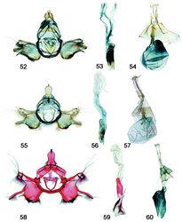 Figures 52–60. Male, female genitalia. 52 Schacontia rasa (a) male, Mexico; f. Fig. 21 53 Phallus, data as above 54 Female, Mexico JAL 19 (same data) 55 Schacontia nyx (a) male, Venezuela, Cf. Fig. 22 56 Phallus, data as above 57 Female, Venezuela; Cf. Fig. 8 58 Schacontia clotho (a) male, HOLOTYPE, Ecuador; Cf. Fig. 9 59 Phallus, data as above 60 Female, Ecuador: Loja, Catamayo, 1300 m, 20 XII 1992, V.O. Becker JAL 5 May 2003 #24.