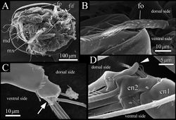 Figure 8. SEM images of male soft parts of Polycopetta quadrispinata sp. n. A left lateral view of whole body with left valve removed B left lateral view of frontal organ C right lateral view of distal area of antennula D left lateral view of antennal endopodite. Arrow indicates a seta with serrations at ventrodistal end. Arrowhead indicates a dorsal outgrowth of male antennal endopodite. Abbreviations: 1an antennula 2an antenna en endopodite fif fifth limb fo frontal organ lf left furcal lamella md mandibula mx maxillula.