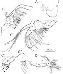 "Figure 10. Polycopetta quadrispinata sp. n. A and D male, paratype (SUM-CO-2094) B and C male, holotype (SUM-CO-2093). A right lateral view of upper lip B mandibula C maxillula C′precoxa of maxillula except setulae on setae C"" coxa of maxillula except setulae on setae D fifth limb. Arrowheads indicate tip of precoxal setae of maxillula. Abbreviations: ba basis cx coxa en endopodite ex exopodite pcx precoxa."