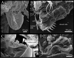 Figure 13. Polycopetta quadrispinata sp. n. SEM images of male soft parts of. A right lateral view of upper lip B left lateral view of posterior body, furcal lamellae and copulatory organ C right lateral view of the tuft of stout setae D fascicle of spermatozoa. Arrowhead indicates the tuft of stout setae. Abbreviations: cd copulatory duct lf left furcal lamella spe spermatozoa ul upper lip.
