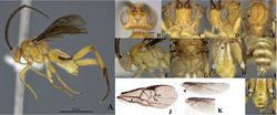 Figure 3. Wilkinsonellus kogui Arias-Penna & Whitfield, male. A Habitus B–D Head B Dorsal view C Frontal view D lateral view E Mesosotum, dorsal view F Head and mesosoma, lateral view G Scutellum, metanotum & propodeum, dorsal view ATM= axillary through of metanotum; ATS= axillary trough of scutellum; BM= Medioposterior band of metanotum; BS= medioposterior band of scutellum; L = Lunule, MPM = Medioanteror pit of metanotum & PRM = Posterior rim of metanotum. H Tergites I-III & hind coxa, dorsal view I Last tergites of metasoma, dorsal view J Fore wing veins K Hind wing cells L Metasoma, dorsal view.