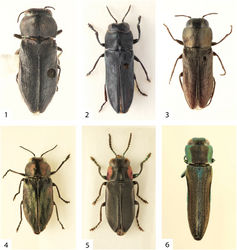 Figures 1–6. 1 Anthaxita peruviana, sp. n., female holotype, 5.4 mm 2 Charlesina mrazi mrazi (Obenberger, 1932), male lectotype, 6.2 mm 3 Cobosina willineri (Cobos, 1972), male, 4.4 mm (Brasil, Catamarca) 4 Marikia descarpentriesi (Cobos, 1956), male, 4.9 mm (Ecuador, Pichincha) 5 Sanchezia bucki (Cobos, 1956), 7.0 mm (male holotype of Cylindrophora kafkai Bílý, 1996) 6 Agrilaxia (Agrilaxia) flavimana (Gory, 1841), male, 3.8 mm (USA, Arizona).
