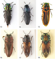 Figures 13–18. 13 Bilyaxia (Tomasia) maculicollis (Kerremans, 1887), female, 4.6 mm (Argentina, Entre Rios) 14 Bilyaxia (Tomasia) lata (Kerremans, 1903), male, 5.0 mm (Brasil, Rio Grande do Sul) 15 Bilyaxia (Tomasia) cinctipennis (Kerremans, 1913), male holotype, 7.0 mm 16 Brasilaxia costifera (Obenberger, 1913), male, 6.3 mm (Brasil, Curityba) 17 Paracuris bimaculata bimaculata (Gory, 1841), male, 7.1 mm (Argentina, Catamarca) 18 the same, female, 7.2 mm (Brasil, Bermejo).