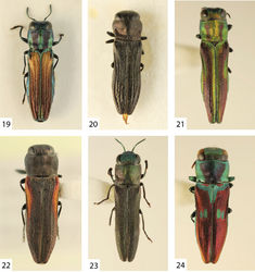 Figures 19–24. 19 Agrilaxia (Agrilaxia) brunneipennis brunneipennis (Kerremans, 1900), male, 4.9 mm (Argentina, Cordoba) 20 Agrilaxia (Agrilaxia) coriacea (Kerremans, 1887), female, 4.1 mm (Argentina, Misiones) 21 Agrilaxia (Agrilaxia) kerremansi (Théry, 1909), female, 6.1 mm (Brasil, Jatahy) 22 Agrilaxia (Agrilaxia) montana Bílý & Westcott, 2005, female paratype, 6.7 mm (Mexico, Sta Catarina del Monte) 23 Agrilaxia (Agrilaxia) funebris (Kerremans, 1900), male, 4.7 mm (Argentina, Entre Rios) 24 Agrilaxia (Agrilaxia) alterna (Kerremans, 1900), female, 5.5 mm (Brasil, Nova Teutonia).