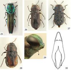 Figures 25–30. 25 Agrilaxia (Agrilaxia) claudei (Cobos, 1972), female, 7.4 mm (French Guayane, Kaw) 26 Anilaroides brasiliensis (Kerremans, 1897), male lectotype (Brasil, Bahia) 27 Tetragonoschema (Tetragonoschema) undatum (Steinheil, 1874), female, 4.0 mm (Paraguay, Loma Plata) 28 Tetragonoschema (Patagoschema) patagonicum (Obenberger, 1922), female lectotype, 4.6 mm 29 Agrilaxia (Agrilaxia) decolorata (Kerremans, 1899), male, prosternum 30 Cobosina willineri (Cobos, 1972), aedeagus.