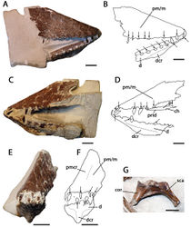 Figure 4. Lonchodraco giganteus comb. n. Lectotype NHMUK PV 39412 (Cenomanian / Turonian, Chalk Formation). A–F articulated anterior parts of the rostrum and mandible A right lateral view B respective line drawing C left lateral view D respective line drawing E anterior view F respective line drawing G associated scapulocoracoid in posterior view. Abbreviations: ch – choanae, cor – coracoid, d – dentary, dcr – dentary crest, m – maxillae, pl – palatine, pm – premaxillae, pmcr – premaxillaery crest, prid – palatal ridge, sca – scapula. Arrows indicate alveoli or teeth. Scale bar = 10 mm. Photos courtesy of The Natural History Museum.