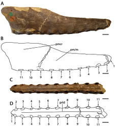 Figure 11. Cimoliopterus cuvieri. Holotype NHMUK PV 39409 (Cenomanian / Turonian, Chalk Formation), anterior part of the rostrum A right lateral view B respective line drawing C ventral view D respective line drawing. Abbreviations: m – maxillae, pm – premaxillae, pmcr – premaxillary crest, prid – palatal ridge. Arrows and numbers indicate alveoli or teeth and their respective position. Scale bar = 10 mm. Photos courtesy of The Natural History Museum.