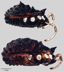 Figure 9. Acuclavella sheari. Top: male, CHR3254; bottom: female, CHR3404.