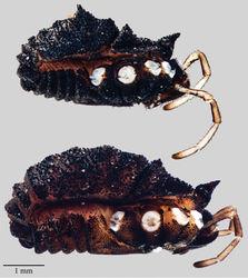 Figure 9. Acuclavella sheari. Top: male, CHR3254; bottom: female, CHR3404.