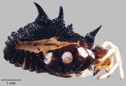 Figure 11. Acuclavella quattuor. Male AMNH.