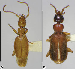 Figure 1. Habitus, dorsal aspect, of: A Coarazuphium whiteheadi, new species B Zuphioides mexicanum (Chaudoir). Scale bars = 5 mm.