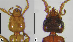Figure 2. Head, dorsal aspect, of: A Coarazuphium whiteheadi, new species B Zuphioides mexicanum (Chaudoir). Scale bars = 1 mm.