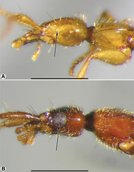 Figure 3. Head and prothorax, lateral aspect, of: A Coarazuphium whiteheadi, new species B Zuphioides mexicanum (Chaudoir). Legend: arrow indicates eye. Scale bars = 1 mm.