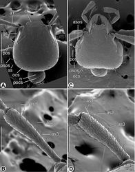 Figure 4. SEM micrographs of head and antennomere 1, dorsal aspect. A and B Coarazuphium whiteheadi, new species C and D Zuphioides mexicanum (Chaudoir). Legend: a1, antennomere 1; as1, as2, as3, erect setae on antennomere 1; asos, anterior supraorbital seta; cl, clypeus; e, eye; gs, genal sulcus; n, neck; ocs, occipital seta; pocs, postoccipital suture; pos, postocular seta; psos, posterior supraorbital seta; ss, posterior supernumerary seta. Scale bars: A and C = 500 µm; B and D = 200 µm.