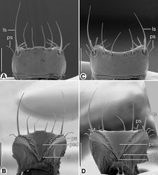 Figure 5. SEM micrographs of labra. A and B dorsal and ventral aspects, respectively, of Coarazuphium whiteheadi, new species C and D dorsal and ventral aspects, respectively, of Zuphioides mexicanum (Chaudoir). Legend: cr, crepis; ls, lateral seta; ped, pedium; pp, parapedial projection; ps, parapedial seta. Scale bars = 100 µm.
