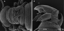 Figure 8. SEM images of male Caurinus tlagu (UAM:Ento:204239), scale bars = 100 µm A dorsal view showing wings B evertedgenitalia showing paired gonostyles, oblique lateral view.