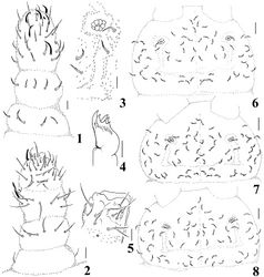 Figures 1–8. Micronella itacaman sp. n. 1 Dorsal view of Ant I–IV 2. Ventral view of Ant I–IV 3 PAO and its surrounding chaetae 4 Maxilla 5 Labium 6 Head chaetotaxy of specimen from Itatiaia 7 Head chaetotaxy of specimen from Teresópolis 8 Head chaetotaxy of specimen from Alto Caparaó. Scale bars: 10μm (1–5); 20 μm (6–8).