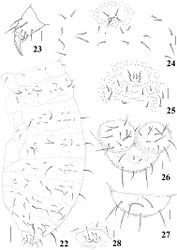 Figures 22–28. Micronella longisensilla sp. n. 22 Dorsolateral body chaetotaxy 23 Tita of leg I 24 Furcal area and its surrounding chaetae (adult) 25 Furcal area and its surrounding chaetae (juvenile) 26 Anal valves and ventral view of Abd VI 27 Dorsal view of Abd VI 28 Female genital plate. Scale bars: 10μm (23–28); 50μm (22). x represents missing chaeta.