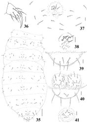 Figures 35–41. Micronella porcus (Denis, 1933). 35 Dorsal body chaetotaxy 36 Tita of leg I 37 Furcal area and its surrounding chaetae 38 Detail of furcal area 39 Dorsal view of Abd VI 40 Anal valves and ventral view of Abd VI 41 Female genital plate. Scale bars: 10μm (36–41); 50μm (35).