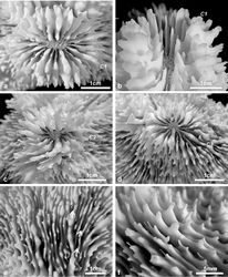Figure 3. Details of corallites, septa, and costae in the holotype of Echinophyllia tarae sp. n. (MNHN-IK.2012–8000) a top view of the largest corallite in the colony, b lateral view of the same corallite shown in a, c top view of the second largest corallite, and d of the third e top and f side view of the costae. C1 to 3 indicate the corallites as shown in Figure 2. White arrows in e indicate the position of exothecal alveoli at the insertion of costae.