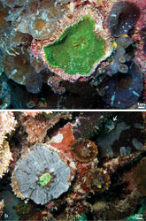 Figure 8. Frequently observed patterns of partial death and re-growth of Echinophyllia tarae sp. n. in the fielda concave colony with a large central corallite showing a peripheral rim of skeleton encrusted by pink coralline algae and surrounded by zoanthids and corallimorpharians, Mangareva Island (Site 19) b a similar situation as in a but with re-growth occurring over previously dead colonies, note the variation of colouration in adjacent corals, Taravai Island (Site 11). White arrows in b indicate the position of larger central corallites. Sites are indicated in Figure 1.