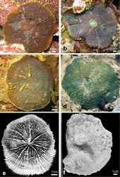 Figure 9. Comparison of in situ morphology between specimens of Echinophyllia tarae sp. n., Echinophyllia echinata, and Echinomorpha nishihirai and corallum morphology of the latter two a Echinophyllia tarae sp. n. resembling Echinophyllia echinata, Agakauitai Island (Site 10) b another colony of the new species resembling Echinomorpha nishihirai, Taravai Island (Site 11) c Echinophyllia echinata from Cap Bocage, New Caledonia (IRD HS 3171) d Echinomorpha nishihirai, Ryukyu Islands, Japan, picture by K. Yanagiya e same specimen as in c, f holotype of Echinomorpha nishihirai (MTQ G 32483), Okinawa Island, Japan. Images c and e from the IRD LagPlon database (http://lagplon.ird.nc/consultv2_5/rechSimple.faces). Sites are indicated in Figure 1.