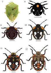 Figures 7–12. Chinavia aseada (Rolston, 1983). 7 Adult 8 First instar 9 Second instar 10 Third instar 11 Fourth instar 12 Fifth instar.