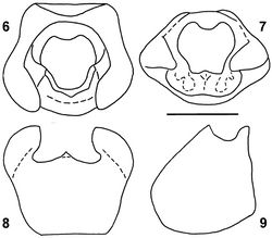 Figures 6–9. Urartucoris ermolenkoi P. V. Putshkov, 1979, dissected pygophore: 6 dorsal view 7 posterodorsal view 8 posterior view 9 lateral view. Scale bar: 1 mm.