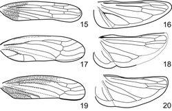 Figures 15–20. Fore- and hindwing. 15, 16 Phlogis sp. from Thailand. 17, 18 Preta gratiosa. 19, 20 Signoretia aureola.