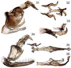 Figures 31–36. Male genitalia of new species of Signoretia. 31–33 Signoretia delicata sp. n. 31 genital capsule, lateral view 32 connective, styles, and aedeagus, dorsal view 33 connective, styles, and aedeagus, lateral view 34–36 Signoretia kintendela sp. n. 34 genital capsule, lateral view 35 connective, style, and aedeagus, dorsal view 36 aedeagus, ventrolateral view.
