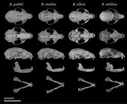 Figure 5. Skulls of adult female Bassaricyon. From left to right: Bassaricyon gabbii (AMNH 140334, Lajas Villa, Costa Rica); Bassaricyon medius orinomus (AMNH 37797, Puerta Valdivia, Antioquia District, Colombia); Bassaricyon alleni (FMNH 86908, Santa Rita, Rio Nanay, Maynas, Loreto Region, Peru); Bassaricyon neblina hershkovitzi (FMNH 70727, San Antonio, Agustin, Huila District, Colombia). Scale bar = 50 mm.