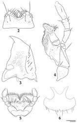 Figures 2–6. Lyrosoma pallidum. 2 labrum, dorsal aspect 3? right mandible, dorsal aspect 4 left maxilla, ventral aspect 5 labium, ventral aspect 6 female sternite VIII, ventral aspect. Scale bars, 0.1 mm (a: Figs 2–5; b: Fig. 6).