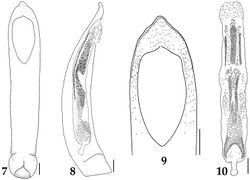 Figures 7–10. Aedeagus of Lyrosoma pallidum. 7 median lobe, ventral aspect 8 median lobe, lateral aspect 9 apex of median lobe, ventral aspect 10 internal sac, ventral aspect. Scale bars, 0.1 mm.