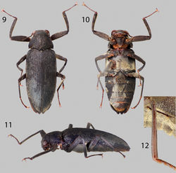 Figures 9–12. Disersus chibcha: 9 Dorsal habitus 10 Ventral habitus 11 Lateral habitus 12 Metatibia, male.