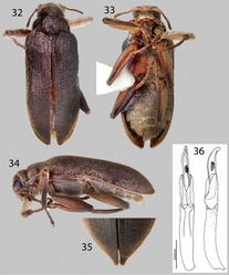 Figures 32–36. Hexanchorus flintorum sp. n.: 32 Dorsal habitus 33 Ventral habitus 34 Lateral habitus 35 Apices of elytra, female 36 Aedeagus, dorsal and lateral views.
