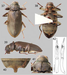 Figures 37–42. Hexanchorus homaeotarsoides sp. n.: 37 Dorsal habitus 38 Ventral habitus 39 Lateral habitus 40 Abominal ventrite 3, female 41 Pronotum, dorsal view 36 Aedeagus, dorsal and lateral views.