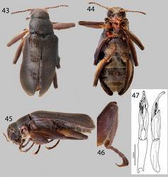 Figures 43–47. Hexanchorus inflatus sp. n.: 43 Dorsal habitus 44 Ventral habitus 45 Lateral habitus 46 Protibia, male, showing apical excavation 47 Aedeagus, dorsal and lateral views.