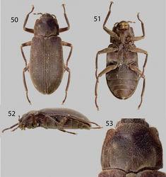 Figures 50–53. Hypsilara royi: 50 Dorsal habitus 51 Ventral habitus 52 Lateral habitus 53 Pronotum, dorsal view. (Modified from Maier and Spangler 2011).