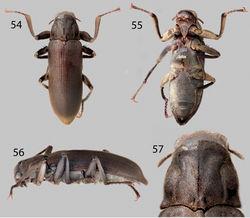 Figures 54–57. Neblinagena doylei: 54 Dorsal habitus 55 Ventral habitus 56 Lateral habitus 57 Pronotum, dorsal view.