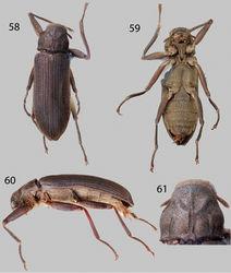 Figures 58–61. Neblinagena prima: 58 Dorsal habitus 59 Ventral habitus 60 Lateral habitus 61 Pronotum, dorsal view.