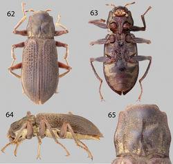 Figures 62–65. Phanoceroides sp. 1: 62 Dorsal habitus 63 Ventral habitus 64 Lateral habitus 65 Pronotum, dorsal view.