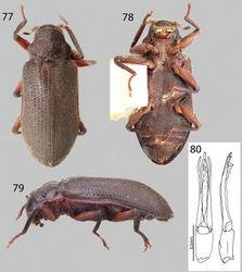 Figures 77–80. Pharceonus ariasi sp. n.: 77 Dorsal habitus 78 Ventral habitus 79 Lateral habitus 80 Aedeagus, dorsal and lateral views.