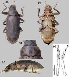 Figures 88–92. Potamophilops bostrychophallus sp. n.: 88 Dorsal habitus 89 Ventral habitus 90 Lateral habitus 91 Pronotum, dorsal view 92 Aedeagus, dorsal and lateral views.